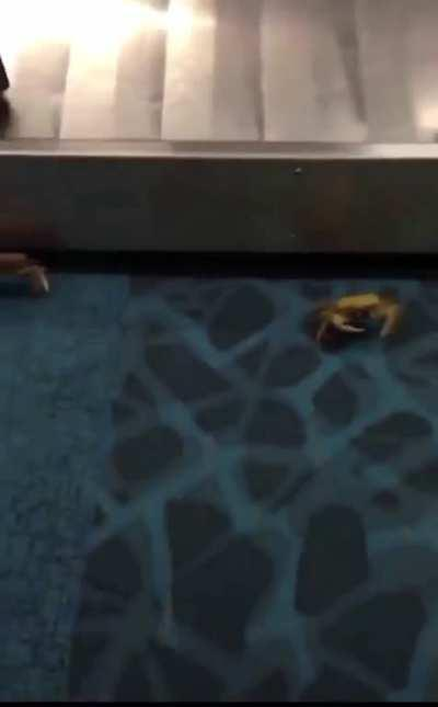 a bunch of crabs bust out of someone's bag at the airport -- while it's still on the luggage carousel