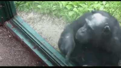 Chimpanzee guides lady to a hole for a sip of Mountain Dew