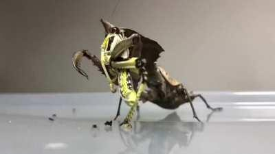 Time-lapse of a Praying Mantis eating a whole Locust (3 hours in 1:30 minutes)