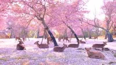 Herd of deer relaxing among some cherry blossom trees in Nara, Japan.
