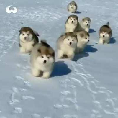 Look at those fluffy dogs in their natural environment!