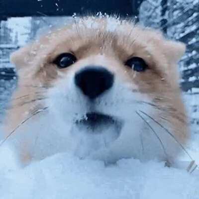 Fox running into camara