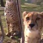 Cheetahs are the largest feline capable of meowing