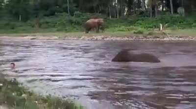 Elephant kiddo thought human is drowning and tries to save him