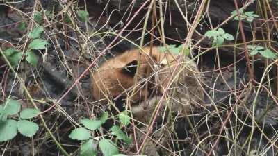 Urban red fox having a nap next to a railway line (Glasgow, Scotland)