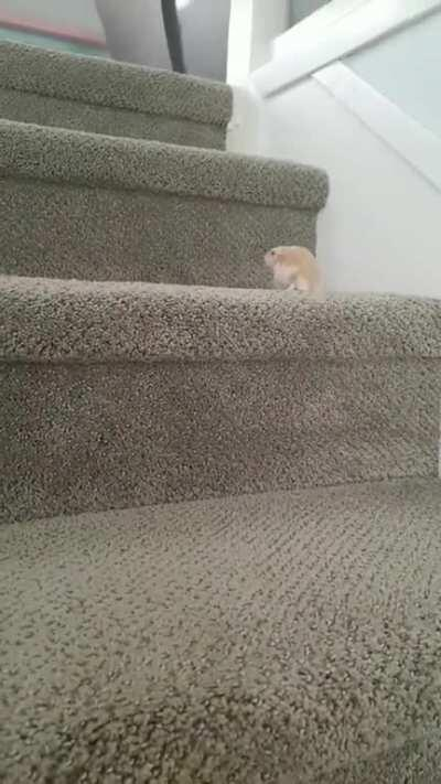 Theodore the hamster climbing up stairs