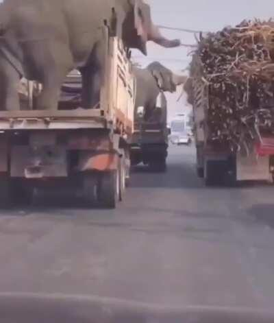 Elephants stealing sugarcane from a truck.