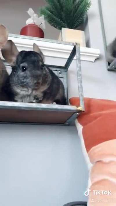 Are chinchillas not the best home security?