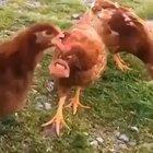 Talking chickens