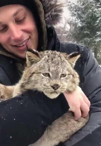 A Purring Lynx