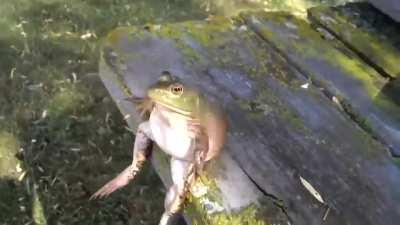 THIS IS THE FUNNIEST VIDEO EVER LMFAO WTF THIS FROG IS VIBING