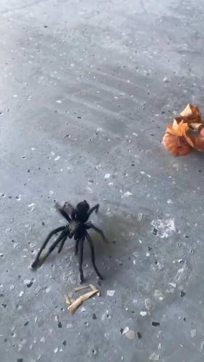 Blueface takes care of a gigantic spider