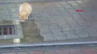 Tram driver waiting for street cat to finish drinking water