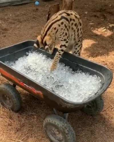 Serval sees ice for the first time