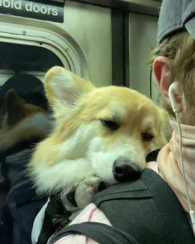This is how my corgi rides the NYC subway.