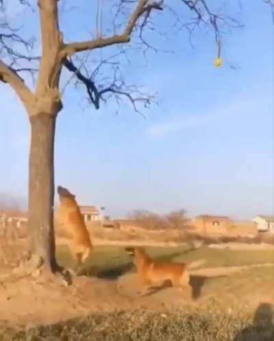 Pupper tries to catch the ball in the air