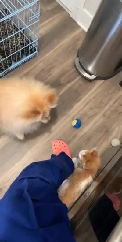 My dog kept throwing my new kitten his favorite squeaky toy so he could play with it too ❤️