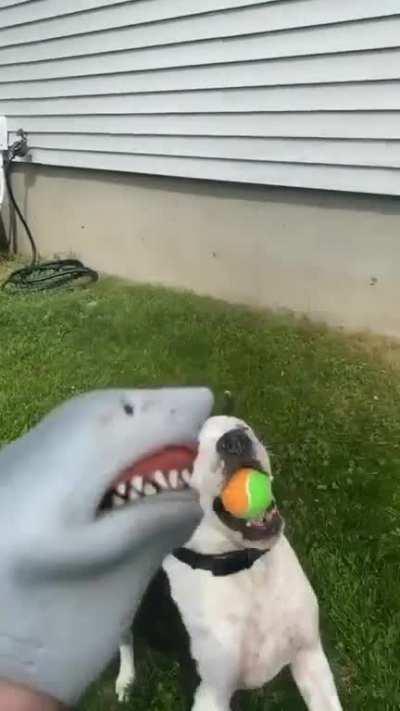 Shark Puppet Gets Eaten By A Dog...