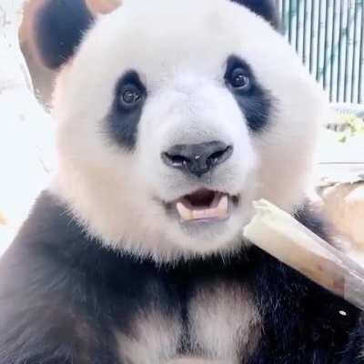 This panda kinda makes me wanna try bamboo