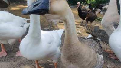 Just geese having a conversation