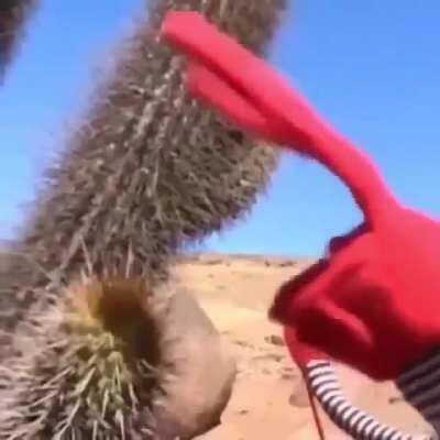 Cactus hurt red man