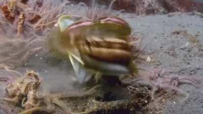 The sarcastic fringehead (Neoclinus blanchardi) is a very bellicose saltwater fish that can open its mouth widely and use it as an assault weapon when engaging in territorial battles. They joust by pushing their distended mouths against each other, as if