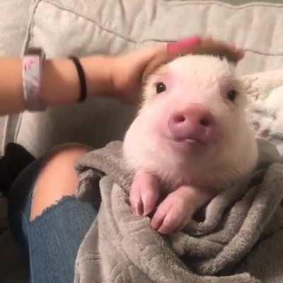 This is a pig