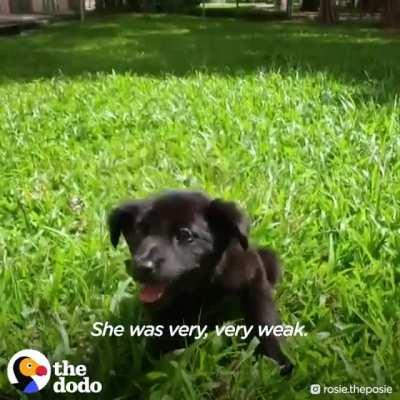Rosie, a tiny pup who couldn't stand on her own had to learn how to run and trust a human again.