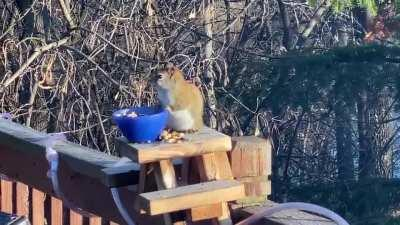 Squirrel eats fermented pears in Minnesota