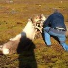 Helping these caribou get untangled