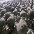 The way these sheep are aligned