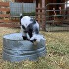 Baby goat learns to be courageous
