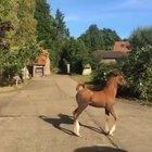 Little Arabian Horse, Prancing Around