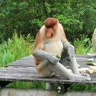Обезьяна Носач (кахау) – очень редкое животное, которое можно встретить лишь на острове Калимантан.