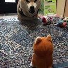 Shiba Inu having a heated debate