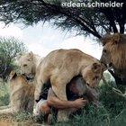 Man sees his lion pride again after 2,5 weeks