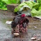 Mother chicken protects her babies in the rain.