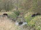 Huge Wild Boar Family