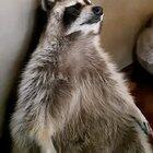 Raccoon is tired