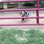 dog jumping through gate