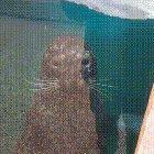Seal plays peek-a-boo