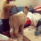 Cleaning an Alpaca