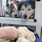 Dogs snacking on vegetables