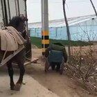 A horse helps a man who fell off his wheelchair