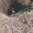 Rescue of a leopard fallen into a deep well at Shivpuri, Madhya Praresh by the forest officers.