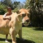 Liger, offspring of a male lion and a female tiger