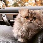 Little Kitty Going for a Ride
