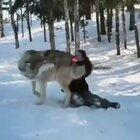 Gorgeous grey wolf becomes a good boy when visited by the people that helped raise their pack