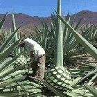 An Agave plant being cut down to make Tequila.