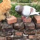 Mike Tyson's pigeon and Hollifield's cat.